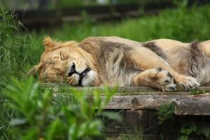 寝ているライオン